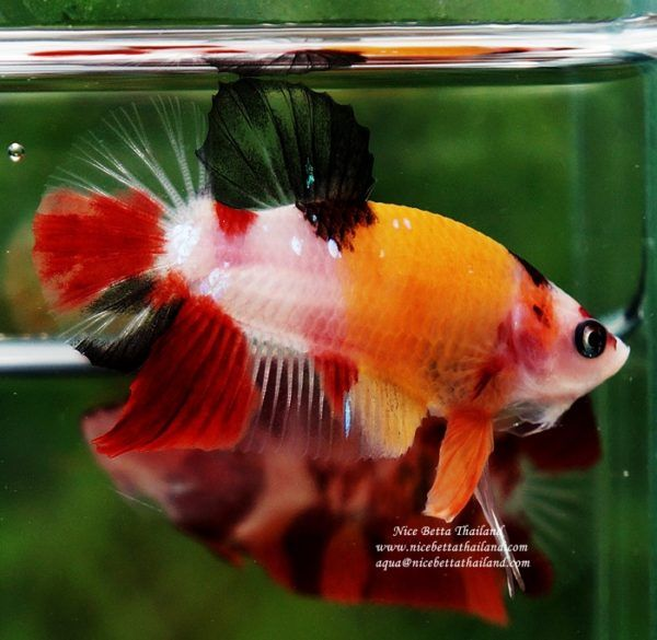 Live Betta Fish Hmpk Prince Classic Candy Nicebettathailand