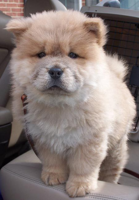 chow dog photo | Dim Sum the Chow Chow | Puppies | Daily Puppy