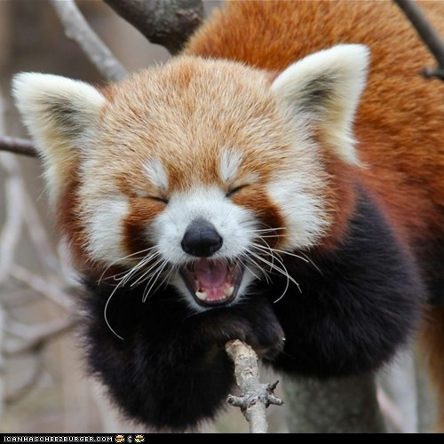 Red Panda. One of my favorites!