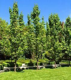 Image result for ornamental pear tree