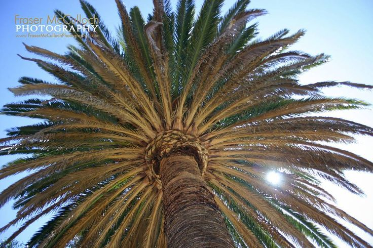 Sun Through the Palm Tree  Enjoy a little bit of that holiday feeling every day!    #palmtree #palm #tree #sun #sunshine #relax #holiday #blue #shade #tropical #vacation #leaves #trunk #frasermccullochphotography #kingspark #perth #justanotherdayinwa