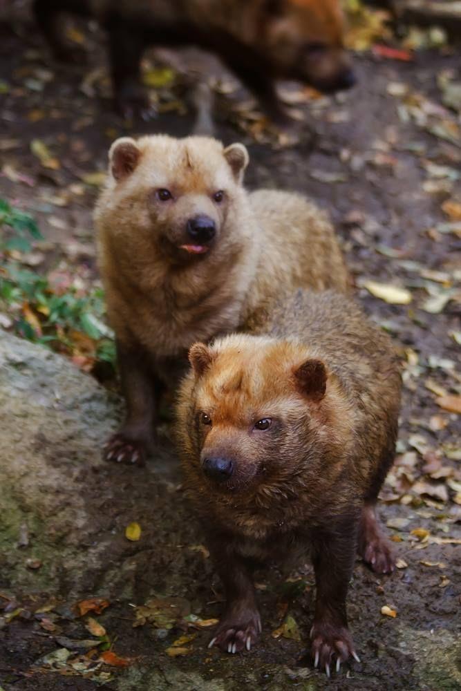 Çalı köpeği (Speothos venaticus) Bush Dog , köpekgiller (Canidae) familyasından, Panama'dan Paraguay'a kadar uzanan bir bölgede çalılık ve ormanlık alanlarda yaşayan ve çok nadir rastlanan bir tür.