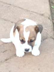 Beautiful Jack Russell Pups for sale | puppies for sale temora New South Wales | Jack Russell Terrier dogs for sale in Australia - http://www.pups4sale.com.au/dog-breed/446/Jack-Russell-Terrier.html