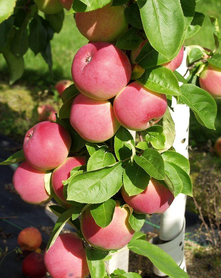 Malus domestica Punainen Melba/Röd melba, höstsort. Växt: starkväxande, stadiga kvistar med mycket löv. Skörd: tidig och riklig . Frukt: medelstor, ljusgrön, röd täckfärg, rätt söt, fin arom, fastare än Melba, mör och saftig.Hållbarhetstid: 4 veckor. Bild: Taimistoviljelijät.