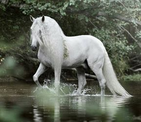 Weißes Pferd, das wie Magie durch das Wasser treibt.