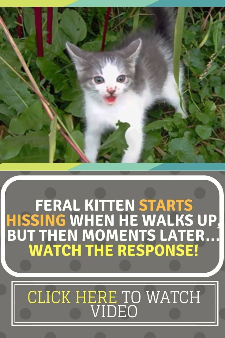 Feral Kitten Starts Hissing When He Walks Up But Then Moments Later Watch The Response Feral Kittens Animal Rescue Stories Animal Stories