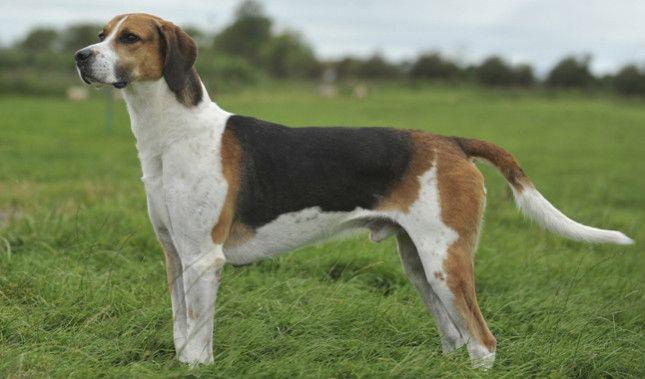 English Foxhound side view