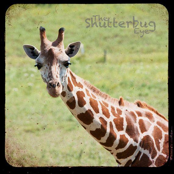 Giraffe Photo Animal Photograph Nursery Decor by TheShutterbugEye