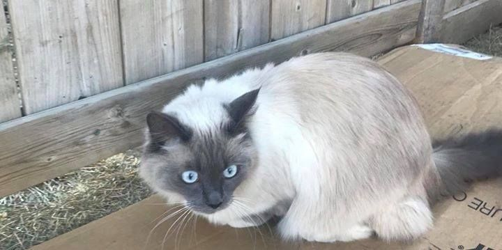 SIGHTING white and brown blue eyed cat #newbrighton. Pls rt watch share help to find their family. YYC Pet Recovery shared Tina Benoliel's post. This beautiful cat is wondering the backyards on New Brighton Manor SE. No tags. Hope he or she gets home safe  2017-12-10T20:44:11.000Z by  YYC Pet Recovery http://ift.tt/2ByWisn