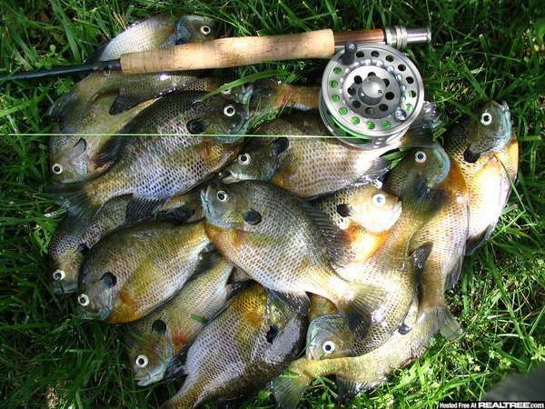 Fly fishing for panfish bluegill on a fly rod the for Fly fishing for bluegill