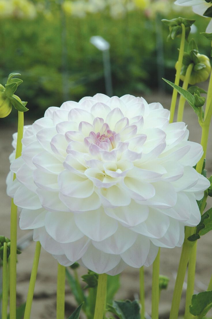Dahlia Eveline - Decorative|Woolmans Flower Bulbs