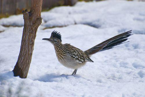Greater Roadrunner (Geococcyx californianus) - photo by John Syphrit
