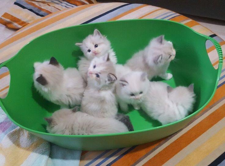 Milord e i suoi fratellini: una meravigliosa cucciolata di morbidissimi Ragdoll
