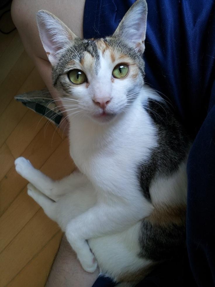 Katie, My Cat, Korean Short Hair, isn't she beautiful ...