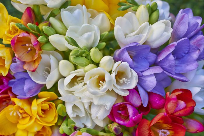 Freesia - 17 Most Breathtaking Flowers in Season in April - EverAfterGuide