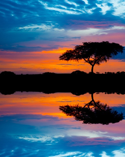 An acacia tree in the Murchinson national park, Uganda  Early morning in Uganda by Laurence Gien