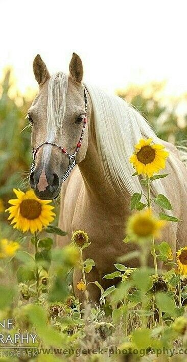 Palomino horse and sunflowers, unusual horse photography. Beautifiul long blonde mane, pretty white star of face and pink nose, fancy halter with chain and red beads. Please also visit www.JustForYouPropheticArt.com for colorful inspirational art. Thank you so much! Blessings!