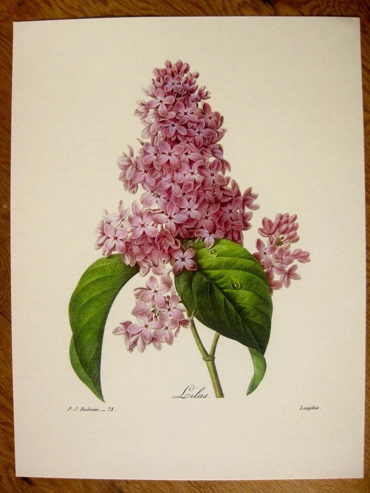 Pierre-Joseph Redoute Botanical Prints #73 LILAC | eBay