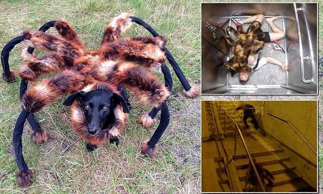 I could not stop laughing. This is so funny. Watch to the end...the last one is the funniest. Giant spider dog let loose on the unsuspecting public in online prank #DailyMail