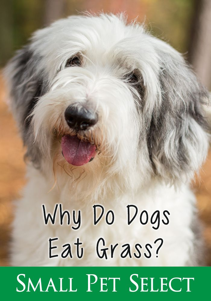 Why Dogs Eat Grass Dogs Eating Grass Dogs Pet Grass