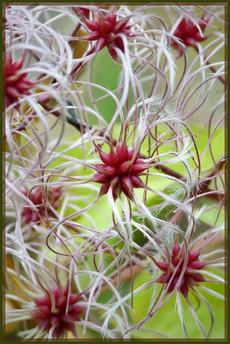 """Time to Disperse ~ """"A small stand of shrubby bushes along the side of Tod Inlet was dressed with clumps of these beautiful, feathery, seed pods"""