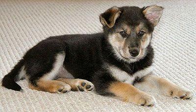 german sheperd husky mix.  birthday present please?? :)