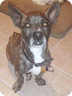 Springfield, MO - French Bulldog/Basset Hound Mix. Meet Little Roscoe, a dog for adoption. http://www.adoptapet.com/pet/17786751-springfield-missouri-french-bulldog-mix