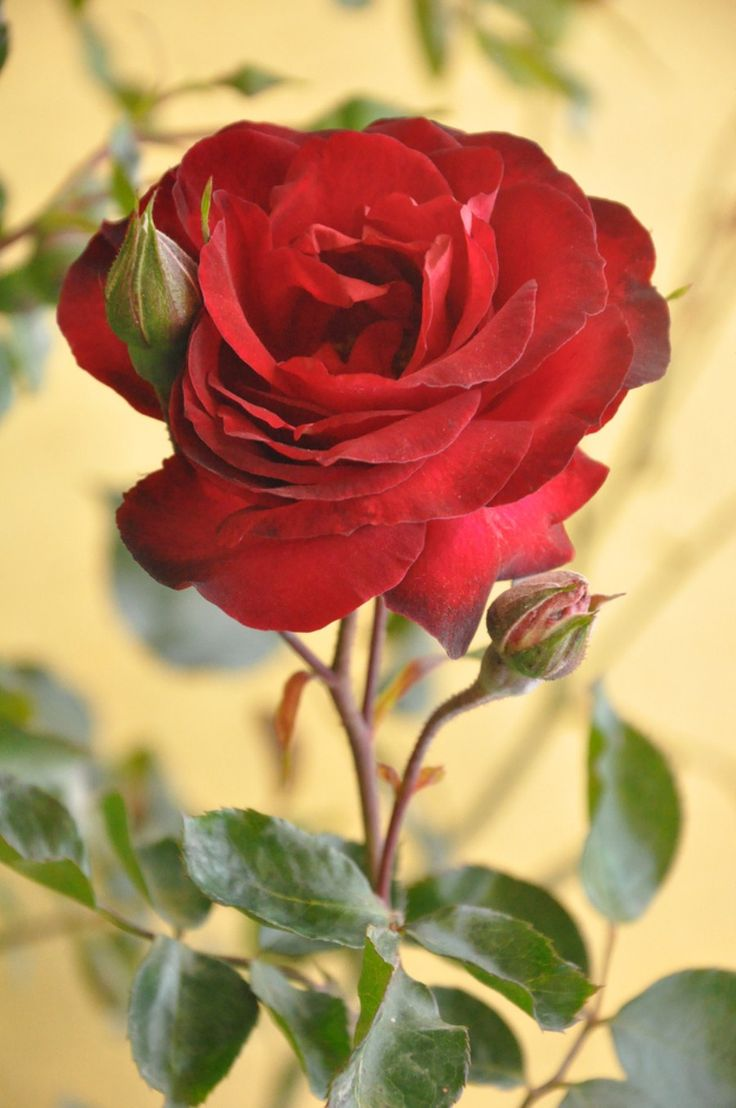Most Beautiful Red Rose Flowers In The World