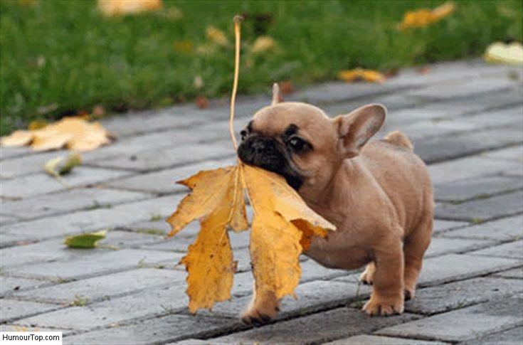 bulldog français rigolo | Adorable Bulldog anglais qui est très fier de rapporter une feuille d ...