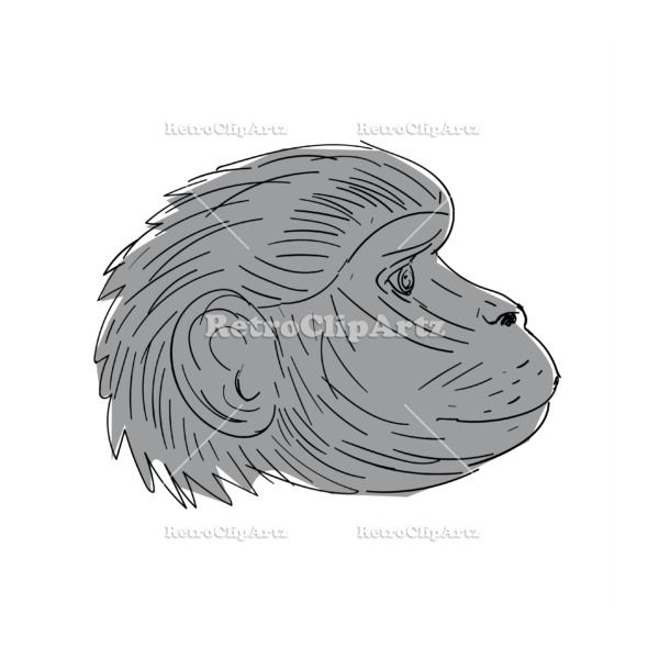 Gelada Monkey Head Side Drawing Vector Stock Illustration.'  Illustration of a Gelada Monkey Head Side view done in Drawing sketch style. #illustration   #GeladaMonkeyHead