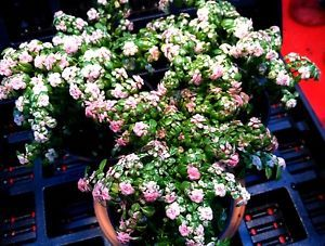 Pilea Microphylla  Variegata  Variegated Artillery Fern Plant in 2 1 4  Pot   eBay