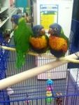 Hand raised Rainbow #lorikeets at Morley They are $199.99 and will require a bird license, which you can apply for in store.