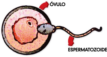 Ovulo_y_espermatozoide.jpg (418×222)