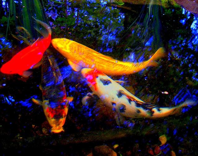 Koi fish pond koi fish and animal for Nishinomiya tsutakawa japanese garden koi