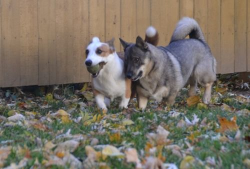 Olive, the Cardigan Welsh Corgi, takes the lead in a ball race with a Swedish Vallhund.