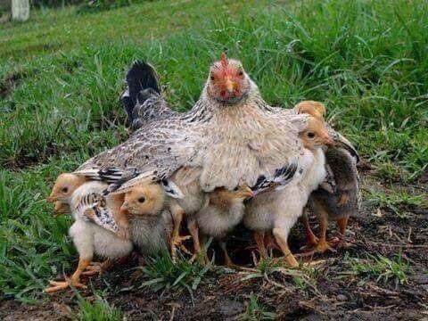 Moeder kip