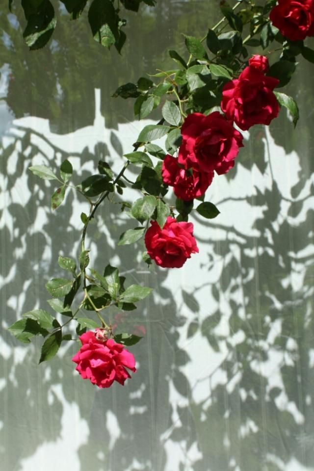 #wapshadows #redroses #greenleaves #shadows