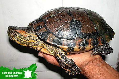 Tartarugas, Jabuti, Tigre Dágua, Tigre d'agua, criação de taratarugas, venda de…
