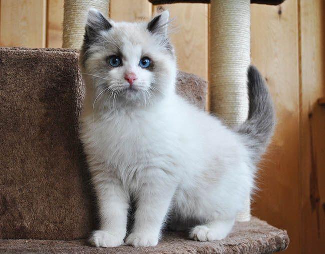 Available Ragdoll Kittens Ragdolls Kittens For Sale Ohio Ragdoll Kitten Ragdoll Cats For Sale Ragdoll Cat