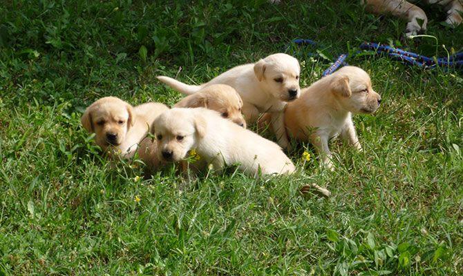 Labrador miele. #Labrador #cani #Liguria #addestramentocani #cane #Piemonte #Liguria #Lombardia