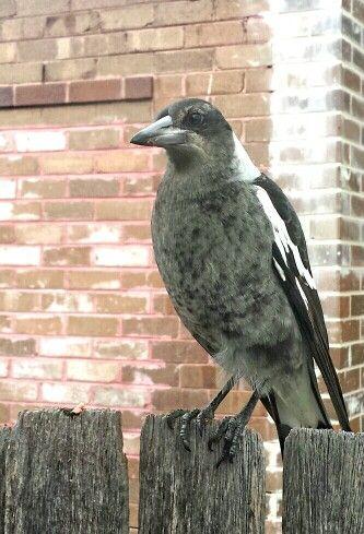 7 month old juvenile Australian Magpie.  Photo by J Moulin.