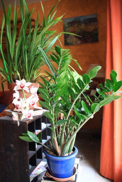 1000 id es sur le th me plante palmier sur pinterest - Entretien d un palmier d interieur ...