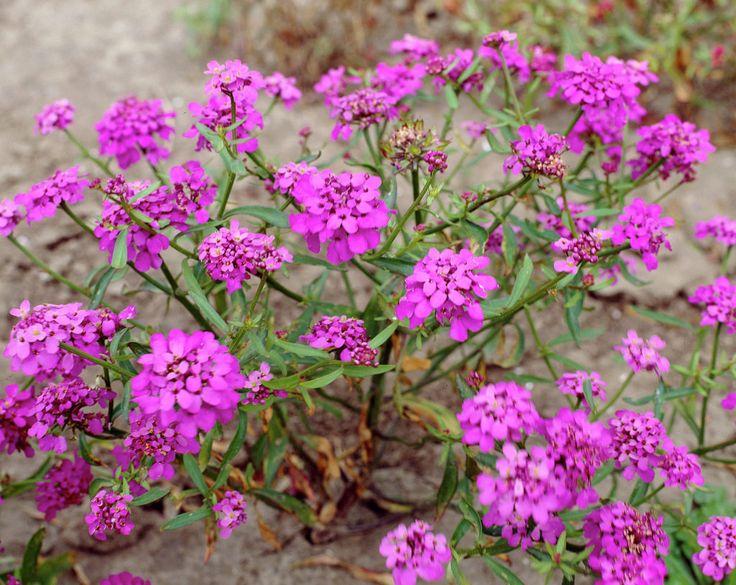 Schnittige Gartenblume für die Vase – vor dem schneiden aber erst die Hände einseifen...