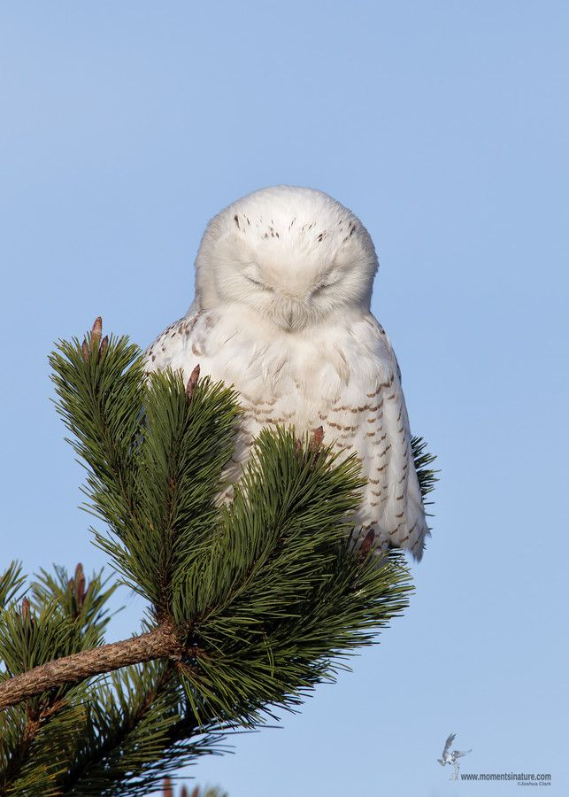A Snowy Owl resting in its Evergreen throne at Damon Point State Park in Washington State!