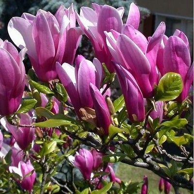 Magnolia Susan Fragrant Tulip Garden Tree