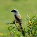 Burung Pentet Gacor dan Rajin Bunyi