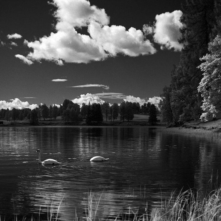 - Swans -