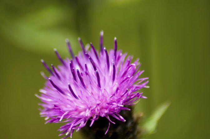 Herbs That Dissolve Gallstones