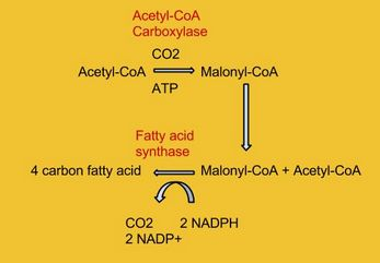 Malonyl-CoA is formed from acetyl-CoA and then reacts with a separate acetyl-CoA molecule to initiate fatty acid elongation.  In subsequent steps, additional molecules of malonyl-CoA react with the growing fatty acid chain until the 16 carbon palmitic acid is formed.