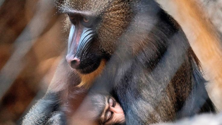 Two baby mandrills, a type of monkey, have made their debut at the Los Angeles Zoo.  The mandrills, a male and a female by different mothers, were introduced to the public Tuesday.  Mandrills are the largest monkey species. The adult males are known for their colorful red-and-blue muzzles. The... - #Angeles, #Baby, #Debut, #Los, #Mandrill, #Monkeys, #TopStories, #Zoo